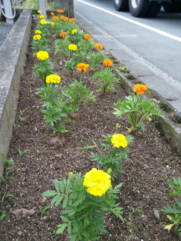 順調に根付き花が咲いたマリーゴールド